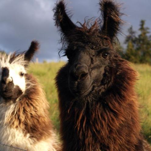 582747dd-Gorgeous-Llamas